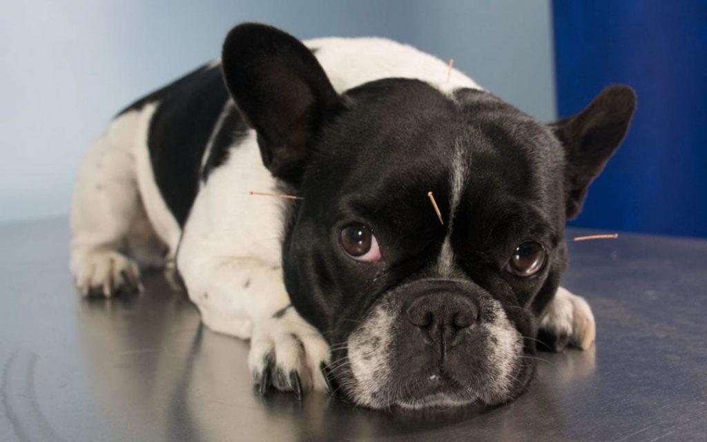 Como funciona a acupuntura para cães