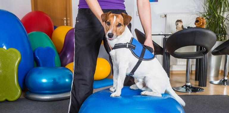 Tratamento de dores com a fisioterapia para cães