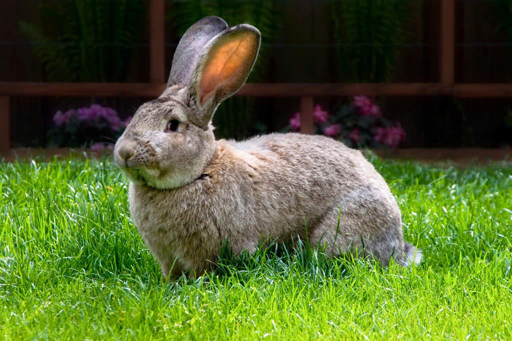 Quais são as principais raças de coelhos?