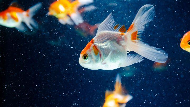 Peixes de estimação