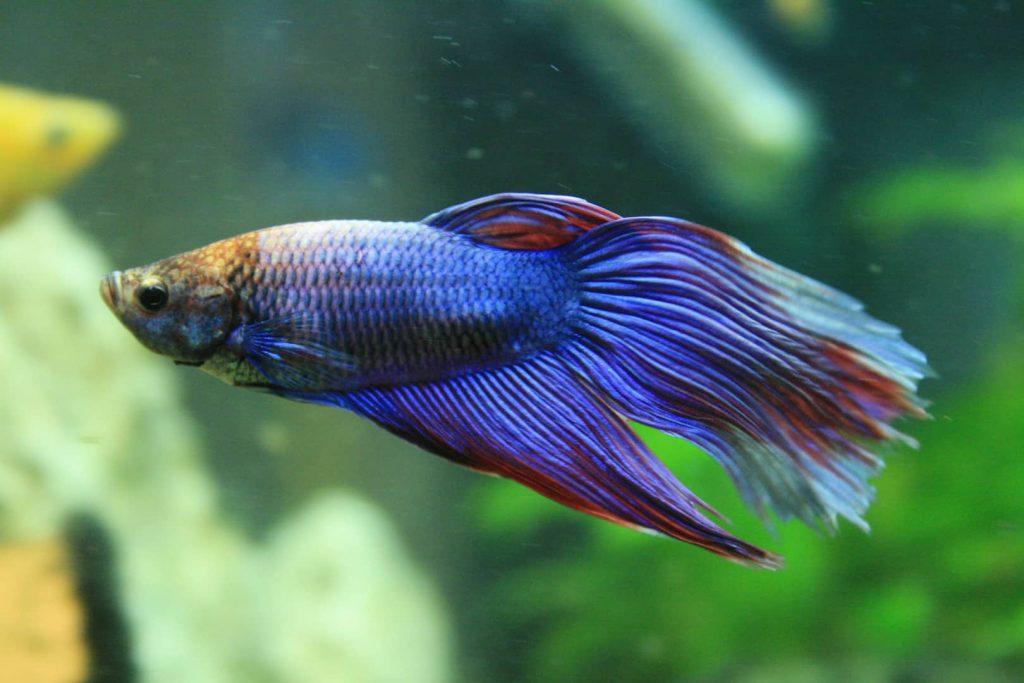 Peixes de estimação quais as vantagens de adotá-los