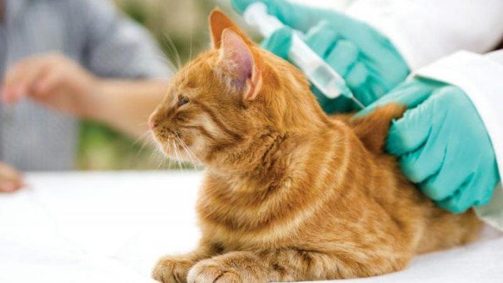 Vacinas para gatos: conheça as principais delas