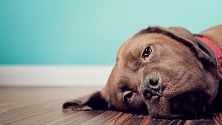 Leishmaniose canina: o que é e como preveni-la
