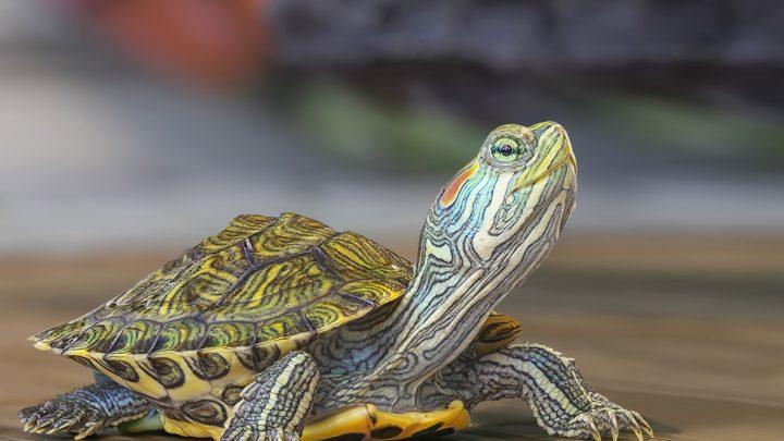 Tartarugas de estimação que você pode ter em casa