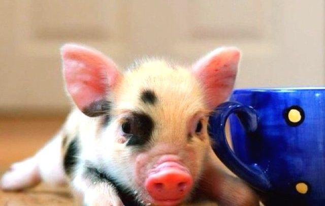 Mini pig: quais são os cuidados com esse pet?