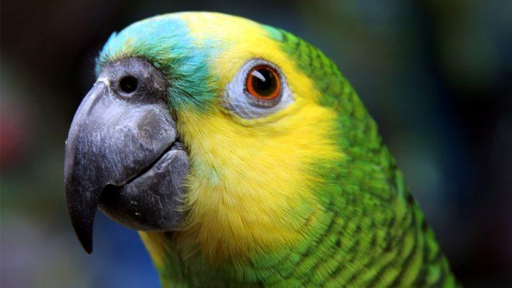 papagaio de estimação e suas principais características