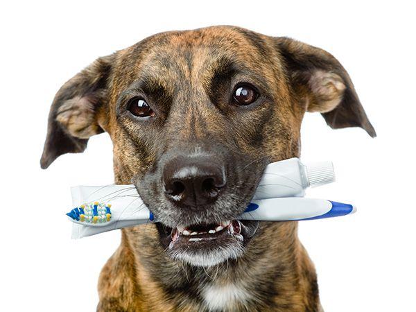 Aprenda como escovar os dentes do cachorro