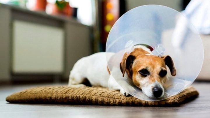 Conheça a importância do colar elizabetano para cães e gatos